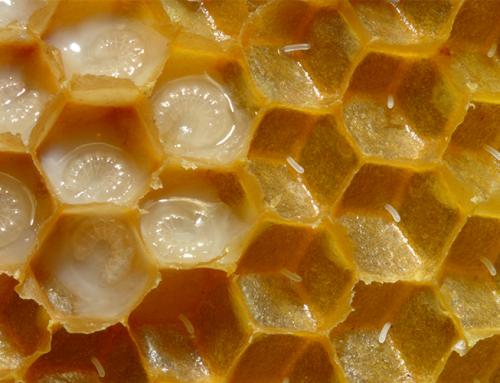 นมผึ้ง Royal Jelly สุดยอดยาอายุวัฒนะ